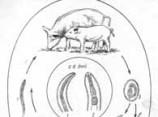 Паразиты. Стронгилоидоз, гнатостомоз, аскаридоз.