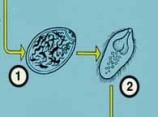 Паразиты. Трематодозы, фасциолёз, фасциолопсидоз, описторхоз.
